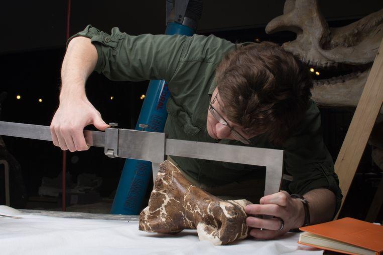 Onderzoeker Scott Persons meet een deel van Scotty's skelet. Beeld AFP