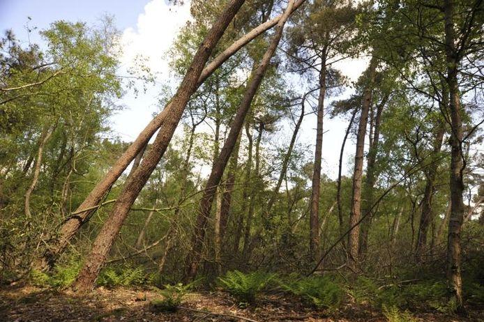 De bossen van Carlier, zoals ze in Schijf in de volksmond nog vaak worden genoemd, hebben veertig jaar lang geen noemenswaardig onderhoud gehad. Dat is volgens rentmeester Jos Koopmans niet goed voor de vitaliteit en de bio-diversiteit van de natuur. foto Jan van Zuilen
