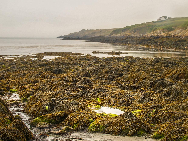 Bij laagwater light het eetbaar zeewier haast voor het oprapen op het eiland Ouessant. Beeld Annemarie Bergfeld