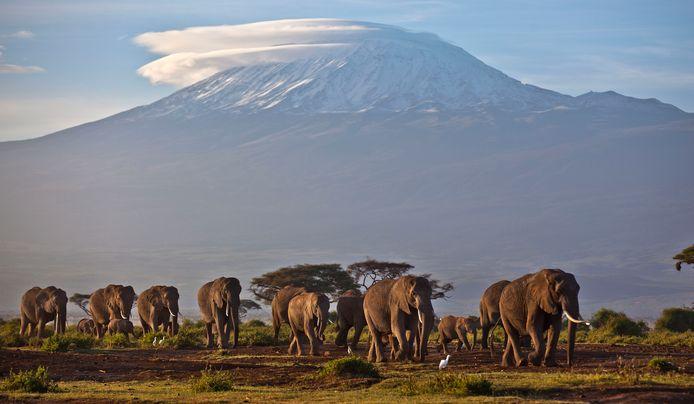 Een kudde olifanten in Amboseli National Park op de grens van Kenia en Tanzania met op de achtergrond de 5.859 meter hoge Kilimanjaro.