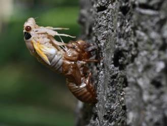 Psychedelische schimmel doet sommige cicaden die na 17 jaar bovenkomen als bezetenen paren