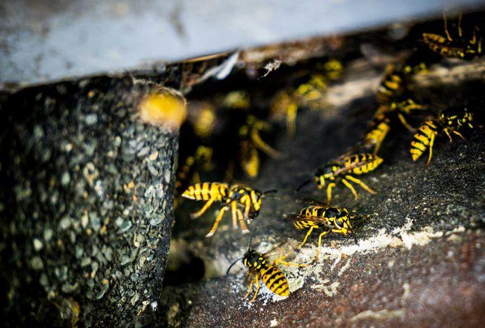 Wespen bij een wespennest. Het aantal meldingen van wespennesten stijgt in de zomer en zorgt voor overlast in Nederland.
