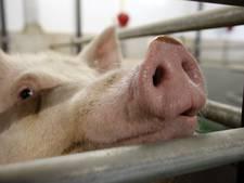 Verzet tegen megastal voor varkens in Venhorst: 'Mijn woongenot wordt minder'