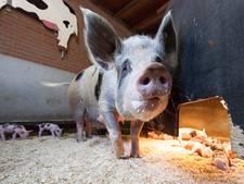 Inval bij Belgische varkensmishandelaars