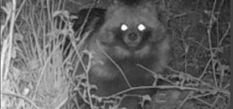 Zeldzame wasbeerhond gespot in Lelystad