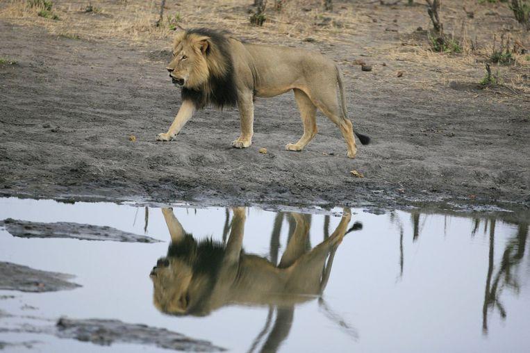 Een Amerikaanse tandarts betaalde 50.000 dollar om in Zimbabwe leeuw Cecil te gaan afschieten. Beeld PHOTO_NEWS