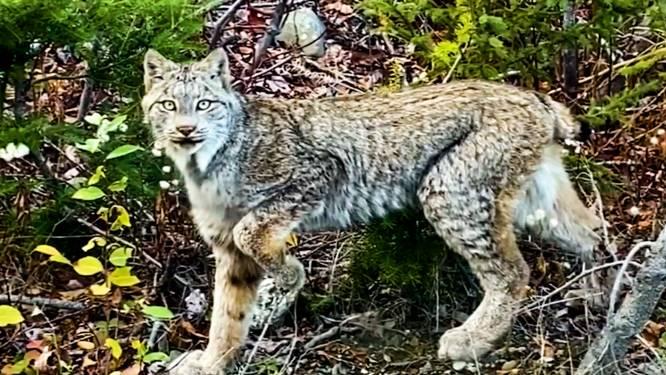 Uniek vader-zoonmoment: prachtige lynx nadert tot op enkele voetstappen