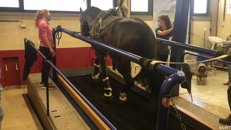 Een van de olympische paarden stapt op de loopband in de dierenkliniek in Luik. 'Die dieren zijn échte atleten.' Beeld VRT