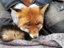 Verdwaalde vos in Centrum: 'Hij was vreselijk gestrest'