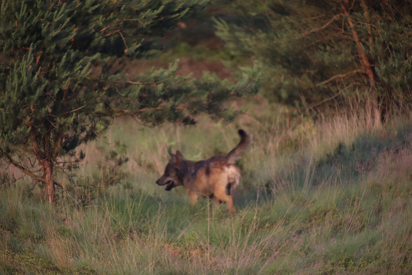 De wolf op jacht naar zijn prooi.