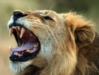Man (27) aangevallen en opgegeten door leeuwen in Zuid-Afrikaans wildpark