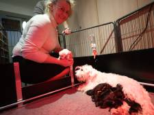 Negen dwergschnauzerpuppy's verliezen mama bij keizersnee; andere mama ontfermt zich over hen
