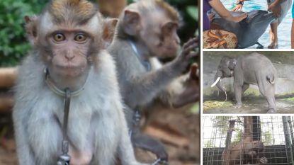 Als zelfs de tanden van dolfijnen worden verwijderd voor uw vermaak: Bali ware hel voor dieren in toeristische industrie