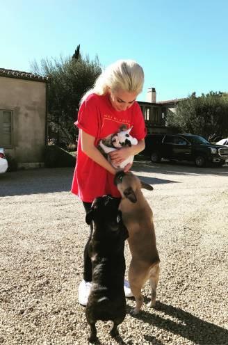 FBI onderzoekt politiek motief voor kidnapping van Lady Gaga's hondjes: ook in ons land werden vorig jaar veertien Franse bulldogs gestolen