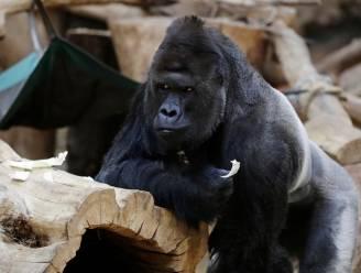 Gorilla en twee leeuwen besmet met Covid-19 in Praagse Zoo
