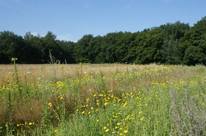 Gele ganzenbloemen en rogge bij de Westbergweg, Wageningen