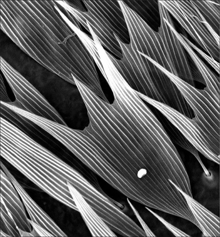 Extreme close-up van de geluidsabsorberende laag op de nachtvlinder. Beeld Marc Holderied & Thomas Neil