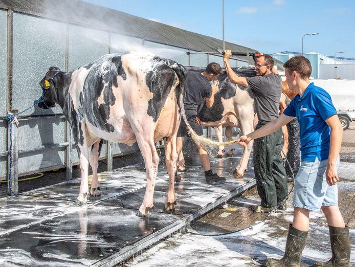 Koeien krijgen bij aankomst een wasbeurt. Geen straf bij de hoge temperaturen van deze week.