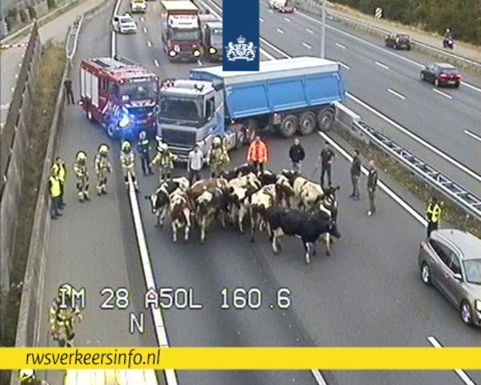 Koeien op de snelweg bij Heteren. Ze werden uit een brandende veewagen gehaald.