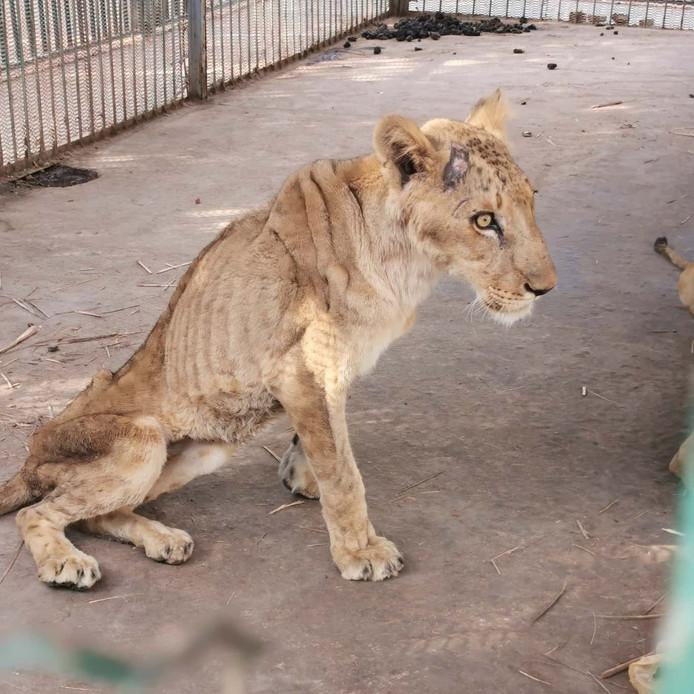 Een van de broodmagere leeuwen