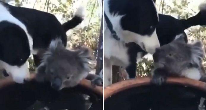 Hond Rusty en koala Quasi zijn de allerbeste vrienden.