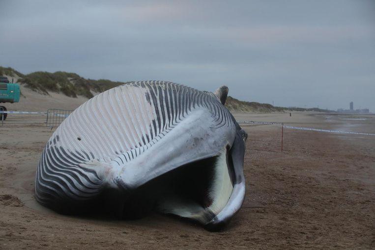 Vinvis Antonius spoelde op 25 oktober aan op het strand van De Haan.
