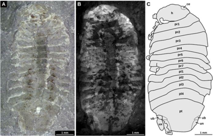 Afbeeldingen van Gelrincola winterswijkensis. A: Opname met een lichtmicroscoop. B: Opname met een fluoriscentiemicroscoop. C: Interpretatietekening.