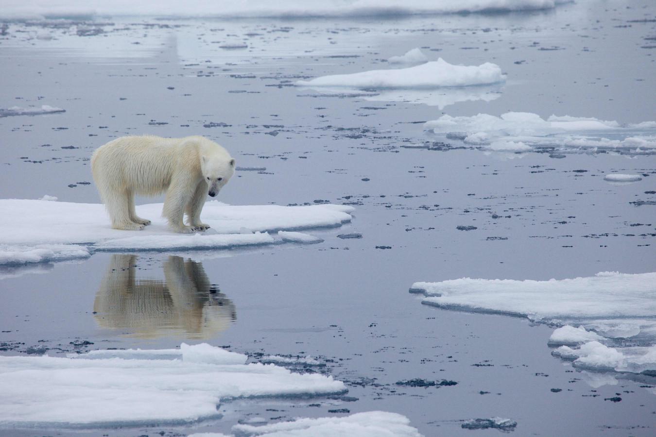 Een ijsbeer staat op het smeltende zee-ijs in Svalbard, Noorwegen.