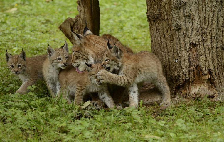 Ook in de Ardennen kan je wilde dieren spotten in het bos, of in een wildpark.
