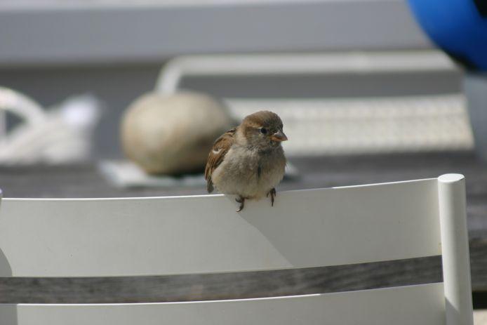Deze mus wacht geduldig op wat over blijft na onze koffie met appeltaart!