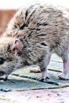 Dagelijks ratten te spotten in Putte: 'Ik heb ook al drie dode gezien'