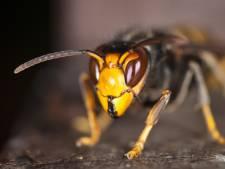 De Aziatische hoornaar is gespot in de Biesbosch: Is er nu reden tot paniek?