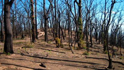 20 procent van Australische bossen vernietigd door recente bosbranden