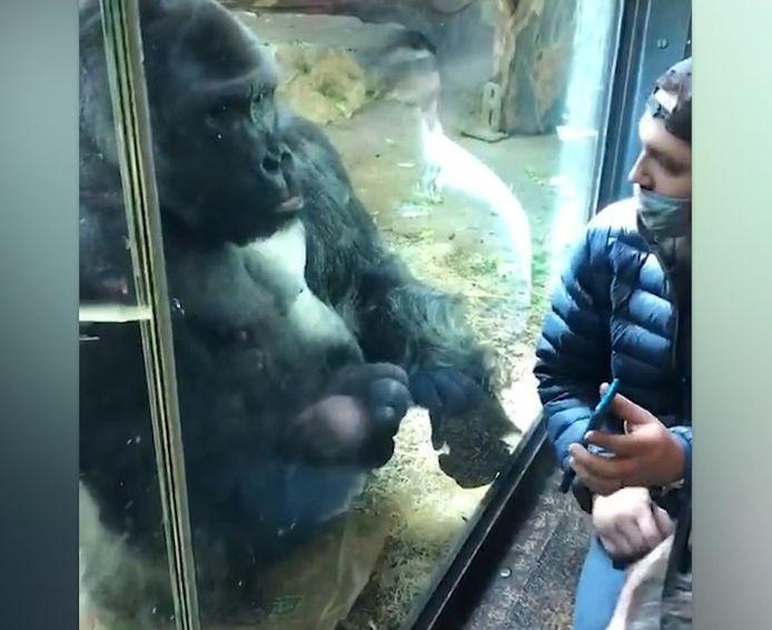 Un gorille du zoo de Louisville, dans le Tennessee, a été filmé ce 6 mars en train d'aider un homme à choisir un rendez-vous sur une application de rencontre.