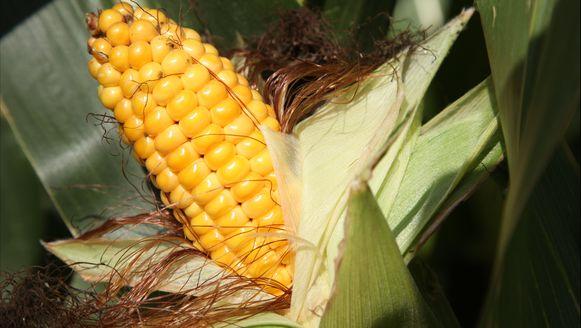 De fabriek moet een van de grootste Monsanto-fabrieken voor maïszaaigoed worden.