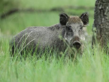 Hongerwinter dreigt voor duizenden wilde zwijnen op de Veluwe: 'Enorm tekort eikels en beukennootjes'