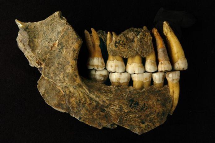 Een kaak en onderkaak van een neanderthaler uit de grot van Spy (provincie Namen).