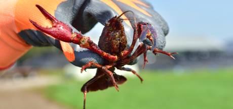 Allemaal aan de rivierkreeft in de strijd tegen invasieve exoten: 'Ideaal hapje van de barbecue'