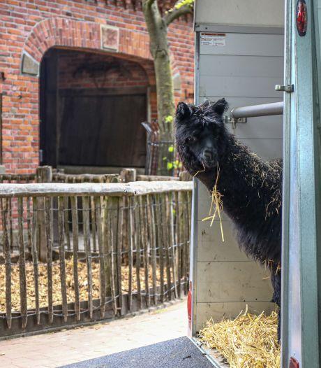 Tierpark Nordhorn heeft nieuwe alpaca; maar hoe moet ie gaan heten?