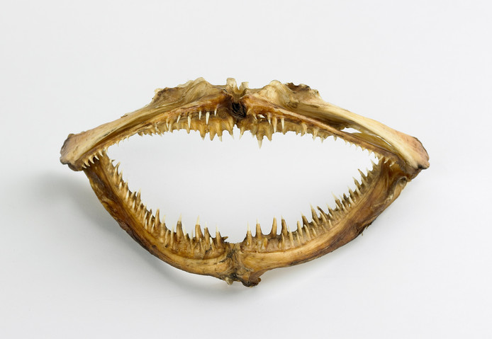 Haaienkaak. Geschenk E. Clijver-d'Ailly, 1775. Zeeuws Museum NHG23534