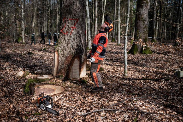 Een houthakker bij eiken die speciaal voor de heropbouw van de Notre-Dame geselecteerd werden in een bos nabij Echouboulains, ten zuidoosten van Parijs. Beeld van 15 maart 2021.  Beeld AFP