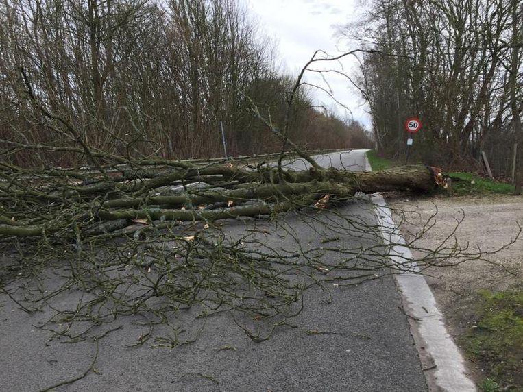 Omgewaaide boom Vlierbeekberg Overijse