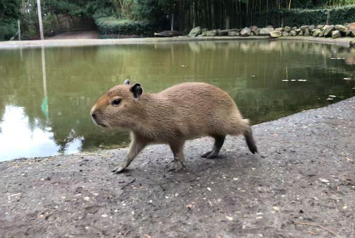 Jonge capibara in actie.