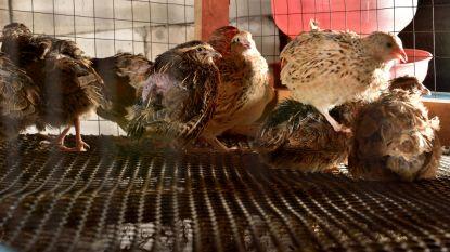 Gesjoemel met scharrelkwarteleieren in Nederland