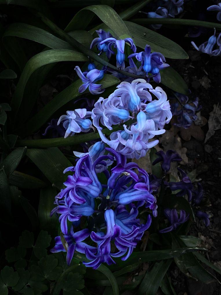 Hyacinthus orientalis. Beeld Elspeth Diederix