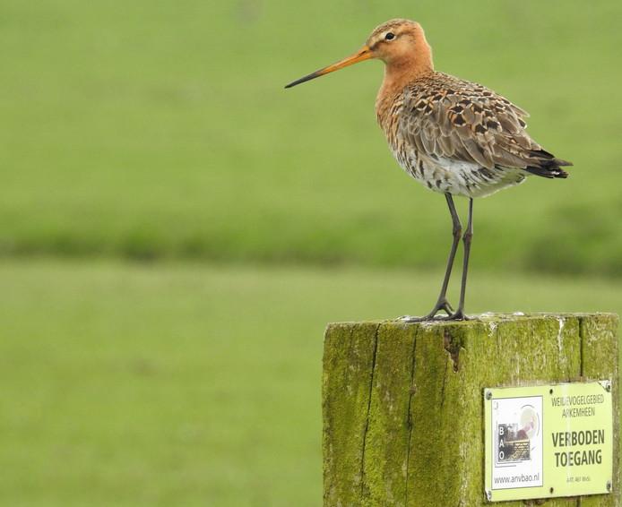 Nederlandse Vogelbescherming vreest dat Frankrijk het jachtverbod op de grutto vanaf volgend jaar loslaat.