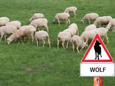 Tientallen schapen doodgebeten: 'Die wolf móet weg uit de polder'