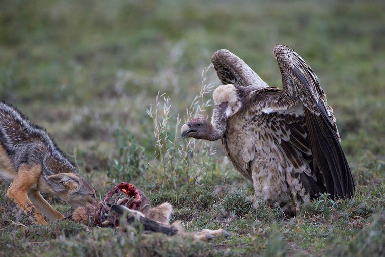 Een Rüppellsgier in Tanzania. Beeld BELGA