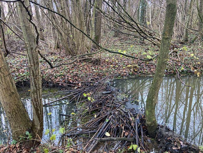 In Oelegem werd eind dit jaar nog een beverdam ontdekt. In een poel nabij de Antitankgracht heeft een koppel zich gevestigd in een burcht