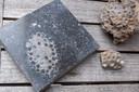 Koraal in oude gesteenten uit België.